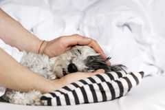 Dog sleeping in bed. Dog sleeping in a human bed.hand fondle a dog stock photo