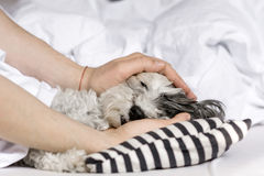 Dog sleeping in bed. Dog sleeping in a human bed.hand fondle a dog stock images