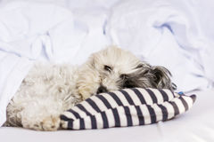 Dog sleeping in bed Stock Photography
