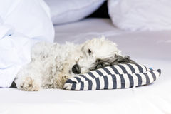 Dog sleeping in bed Royalty Free Stock Photos