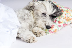 Dog sleeping in bed Royalty Free Stock Photo