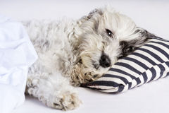 Dog sleeping in bed Royalty Free Stock Photography