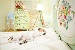 Dog sleeping on bed. Jack Russell terrier sleeping in a bed in the bedroom Royalty Free Stock Photos