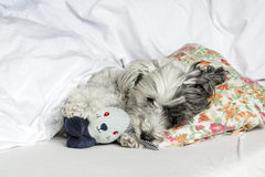 Dog sleeping in bed with  pillow and plush toy Stock Image