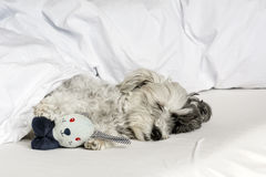 Dog sleeping in bed with  pillow and plush toy Royalty Free Stock Photos