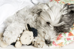 Dog sleeping in bed with  pillow and plush toy Royalty Free Stock Image