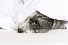 Dog sleeping in a bed , under the quilt Royalty Free Stock Image