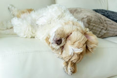 A dog is sleeping Royalty Free Stock Image