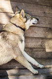 Dog is sleeping on boards. Basking in the summer sun stock photography