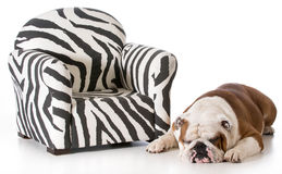 Dog sleeping beside chair Stock Photo
