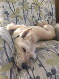 Dog sleeping in chair Royalty Free Stock Image