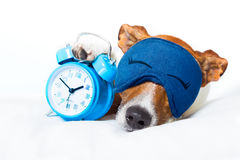 Dog sleeping with clock Royalty Free Stock Photos