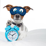 Dog sleeping with clock. Dog  resting ,sleeping or having a siesta  with alarm  clock and eye mask,  holding a clock , isolated on white background Stock Photo