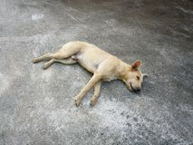 Dog sleeping Royalty Free Stock Image