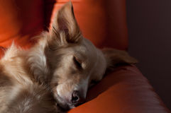 Dog sleeping on couch. Indoor portrait of a cute relaxed dog sleeping on the couch Stock Image