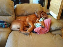 Dog sleeping on couch. Dogue de bordeaux sleeping on the future Royalty Free Stock Photos