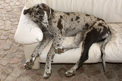 Dog sleeping on couch. Great Dane dog sleeping on couch Royalty Free Stock Image