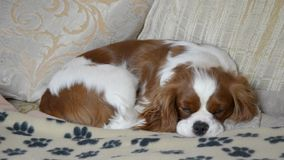 Dog sleeping on couch. Lovely dog, Cavalier King Charles Spaniel, sleeping on its blanket on couch and opening its sleepy eyes twice stock footage