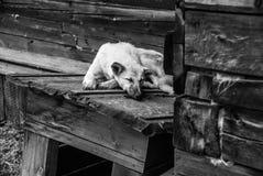 Dog sleeping on the doghouse. White mongrel sleeping on the doghouse, Black and white image stock image
