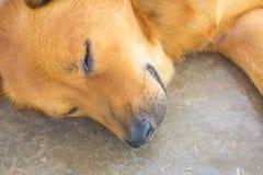 Dog sleeping. Dogs sleep very, very happy Royalty Free Stock Photo