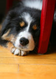 Dog sleeping on the floor. A bernese mountain puppy dog sleeping on the floor at a chair stock photo