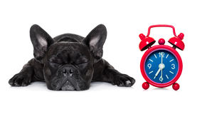 Dog sleeping Stock Image