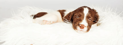 Dog Sleeping On Fur Over White Background Royalty Free Stock Photography