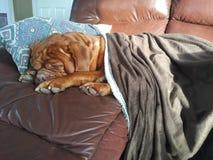 Dog sleeping on furniture. Mastiff sleeping on furniture under blanket royalty free stock photo