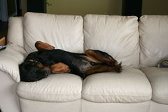 Dog sleeping on the furniture. Rottweiler napping on the couch Stock Photos
