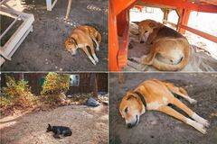 Dog sleeping. Goa Royalty Free Stock Images