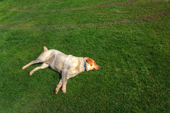 Dog sleeping on the grass. Yellow lab sleeping on the grass in a field.  Tire marks close by accentuate how carefree his rest is Stock Images
