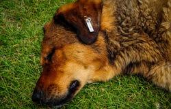 Dog Sleeping On Grass Stock Image