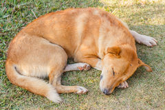 Dog sleeping on grass Royalty Free Stock Photography