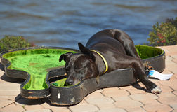 Dog sleeping in a guitar case Stock Photography