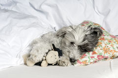 Dog sleeping in human bed with a toy Stock Photos