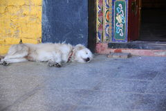 Dog  sleeping. The dog lay sleeping in the temple at the entrance  and snoring loudly Stock Photos