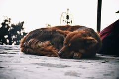 Dog sleeping. On mall road shimla Stock Photography