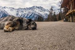 Dog sleeping on mountain road. Snow-capped mountains at the background. royalty free stock photos
