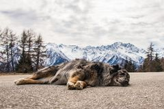 Dog sleeping on mountain road. Snow-capped mountains at the background. stock photo