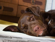 Dog sleeping with the newspaper Stock Photography