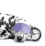 Dog sleeping next to an alarm clock Stock Photos