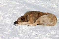 Free Dog Sleeping On Snow Stock Photo - 29938060