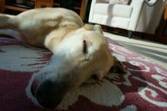 Dog sleeping A Royalty Free Stock Image