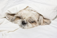 Dog sleeping on a pillow in bed under the covers. The dog sleeping on a pillow in bed under the covers royalty free stock photography