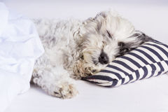 Dog sleeping on a pillow with  blue stripes Stock Photography