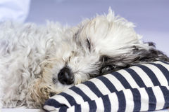 Dog sleeping on a pillow with  blue stripes Royalty Free Stock Photos