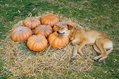 A Dog Sleeping on Pumpkins. A dog pretending to be sleeping on pumpkins Royalty Free Stock Photo