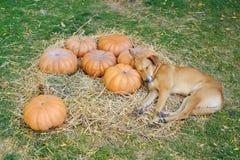 A Dog Sleeping on Pumpkins. A dog pretending to be sleeping on pumpkins Royalty Free Stock Image