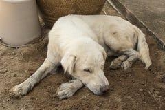 Dog sleeping Royalty Free Stock Images