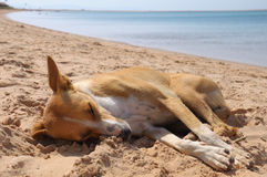 Dog is sleeping on the sand near Red Sea. The red dog is sleeping on the sand of the Red Sea near the sea edge stock photography